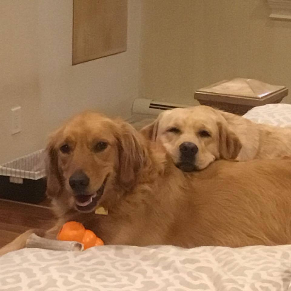 Charlie and her Golden Retriever sister