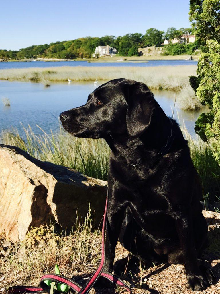 Keira Labrador