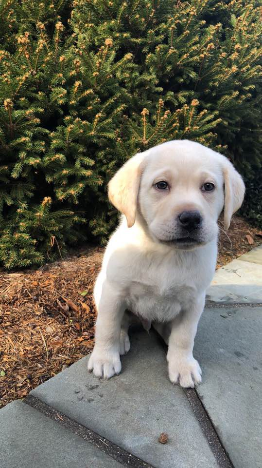 Bauer, Lane puppy 2018